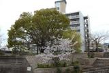 フレール長田そばの新湊川沿いの桜