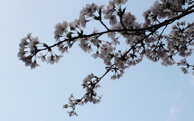 桜20150402