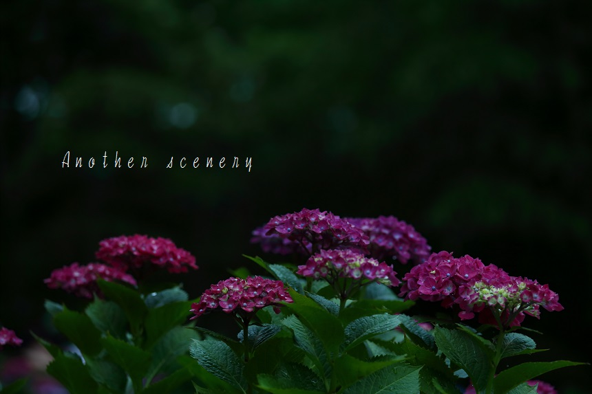 紫陽花。。。