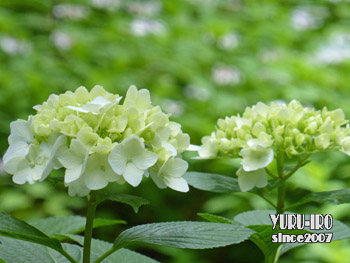 yuruiro20150607_k006