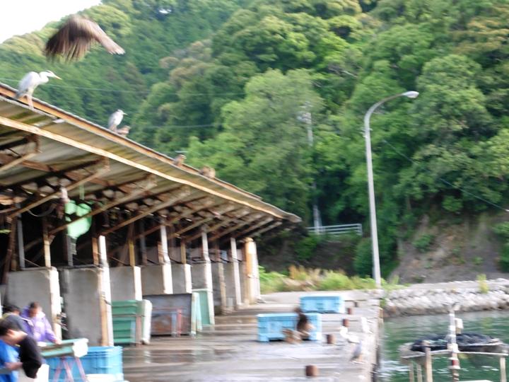 6時前 漁船の帰りを待つ海鳥たち・・・