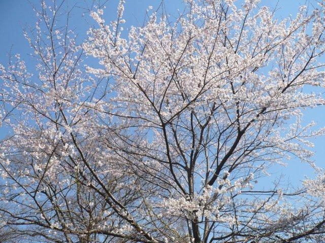 20150328明石公園ヒガンザクラP1130392