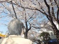 平成27年春/桜
