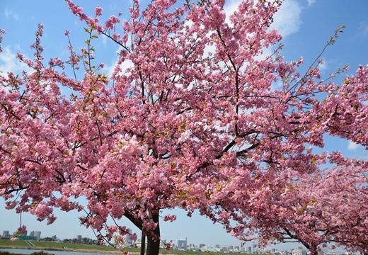 桜・池袋 (12)_R