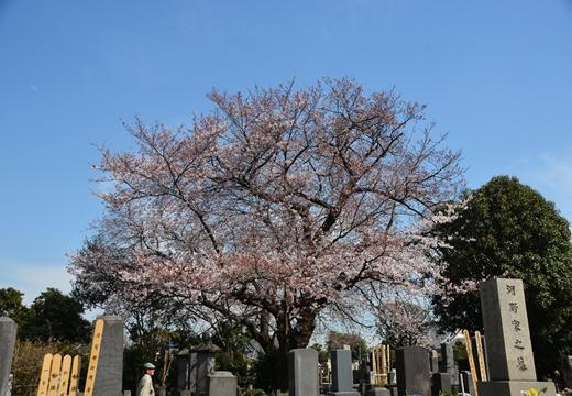 桜の街 (74)_R