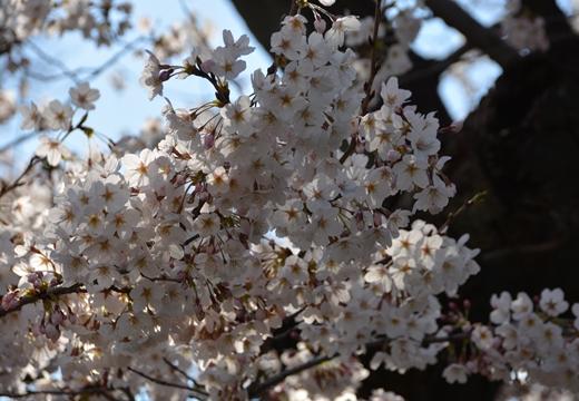 桜の街 (84)_R