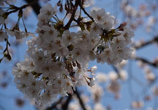 桜の街 (86)_R
