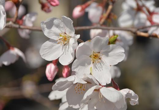 桜の街 (92)_R