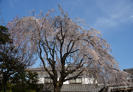 桜の街 (142)_R