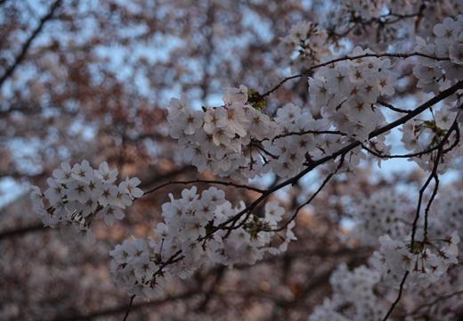 桜の街 (244)_R