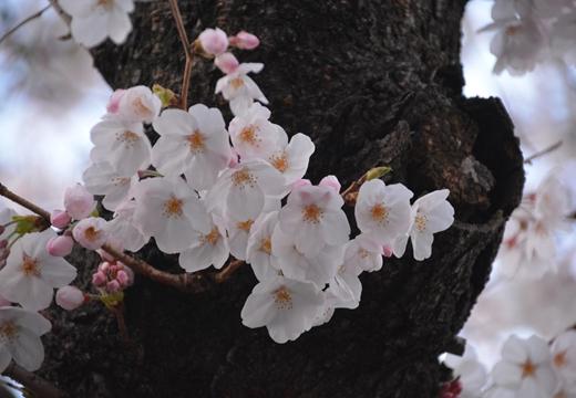 桜の街 (294)_R