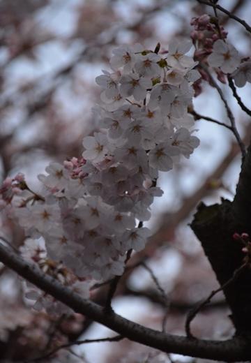 桜の街 (288)_R