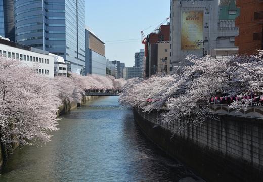 桜の街2015 (36)_R