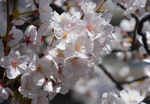 桜の街2015 (45)_R