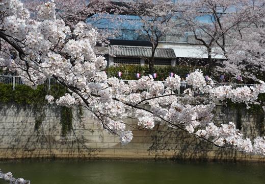 桜の街2015 (70)_R