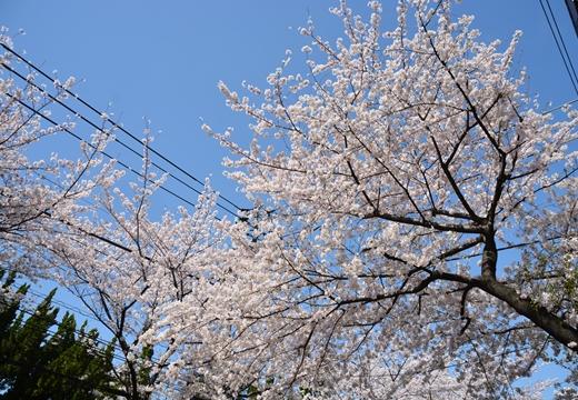 桜の街2015 (145)_R