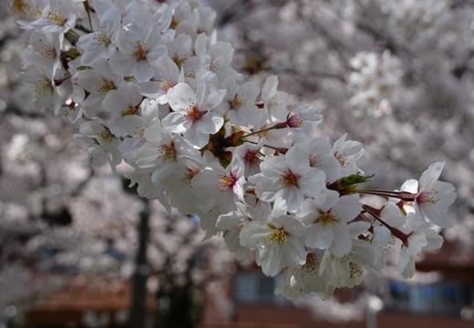 桜の街2015 (167)_R