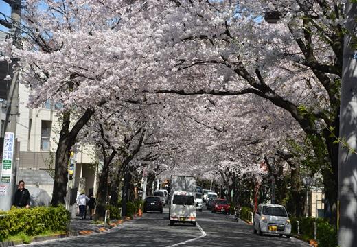 桜の街2015 (181)_R
