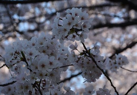 桜の街2015 (356)_R