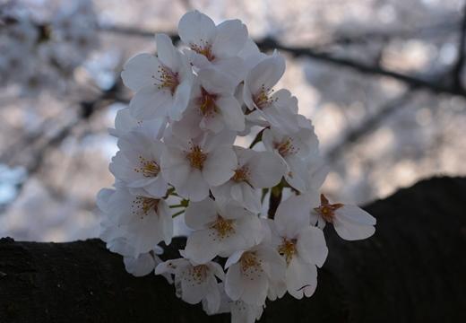 桜の街2015 (365)_R