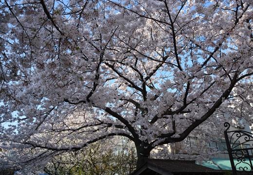 桜の街2015 (413)_R