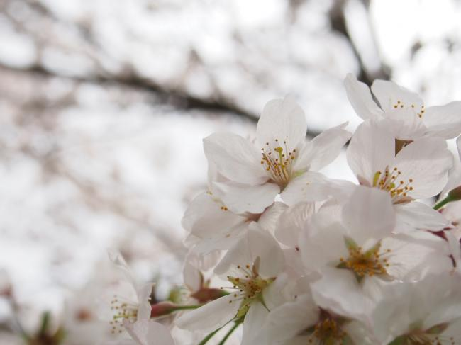 桜 2015年 4月