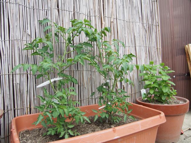 2015 tomato