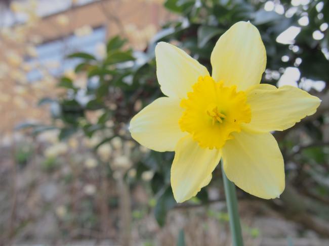 水仙の花 3月