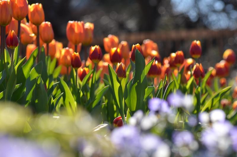 20150112 tulip2