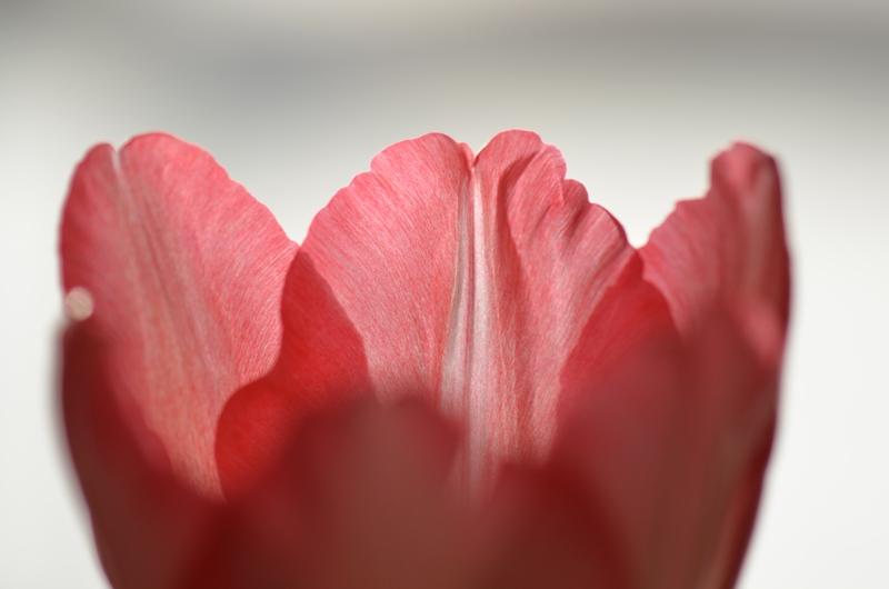 20150113 tulip3