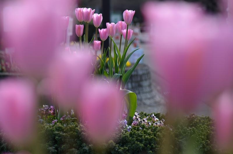 20150124 tulip1