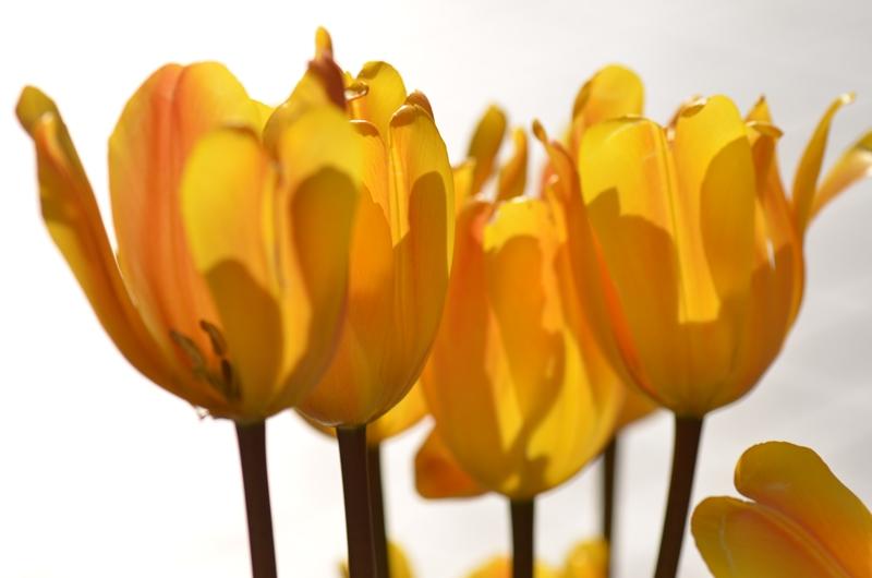 20150124 tulip3