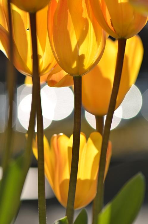 20150124 tulip4