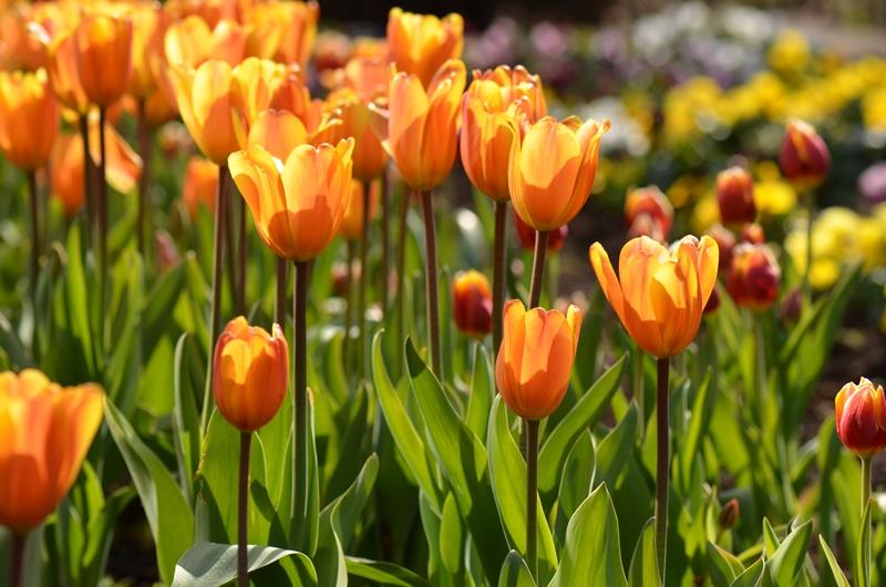 20150124 tulip5