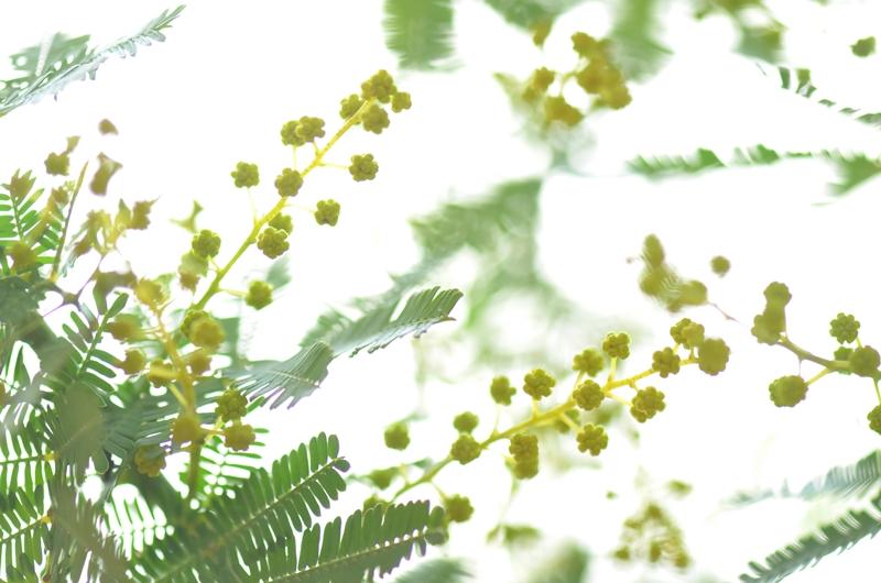 20150215 mimoza2
