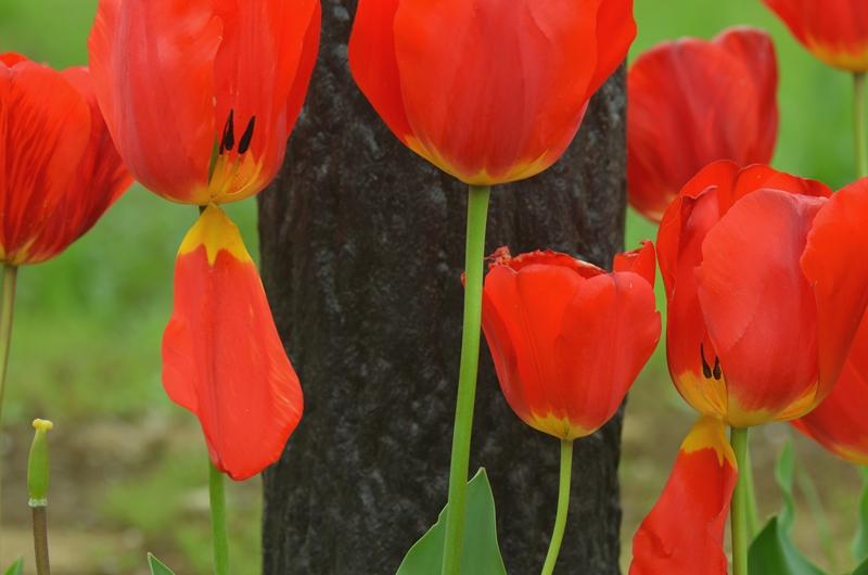 20150419 tulip1