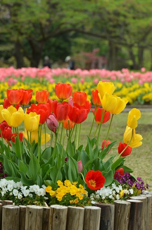 20150419 tulip4