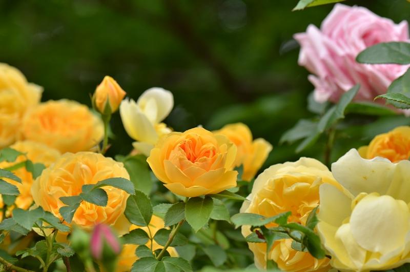 20150509 rose1