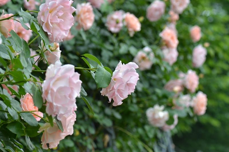 20150509 rose2