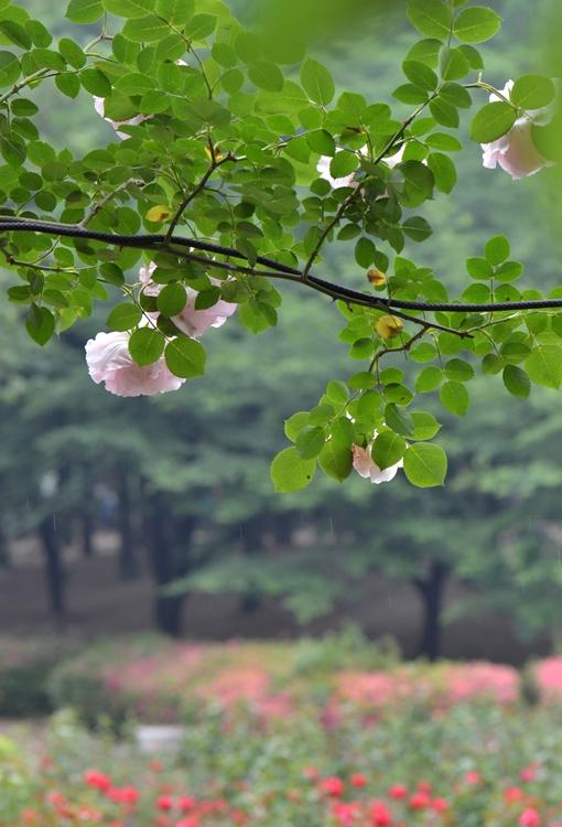 20150509 rose3
