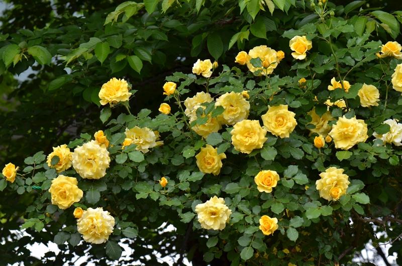 20150509 rose4