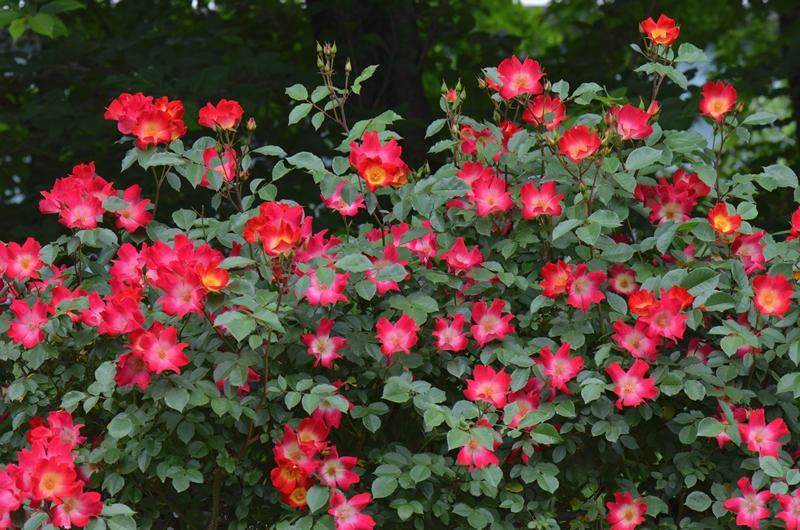 20150509 rose8