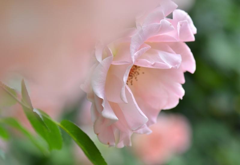20150509 rose10