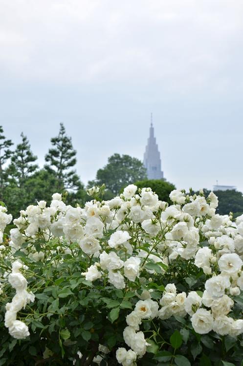 20150516 rose1