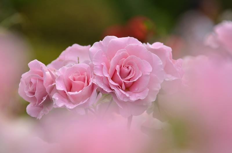 20150516 rose4