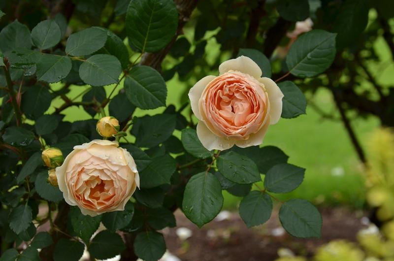 20150516 rose5