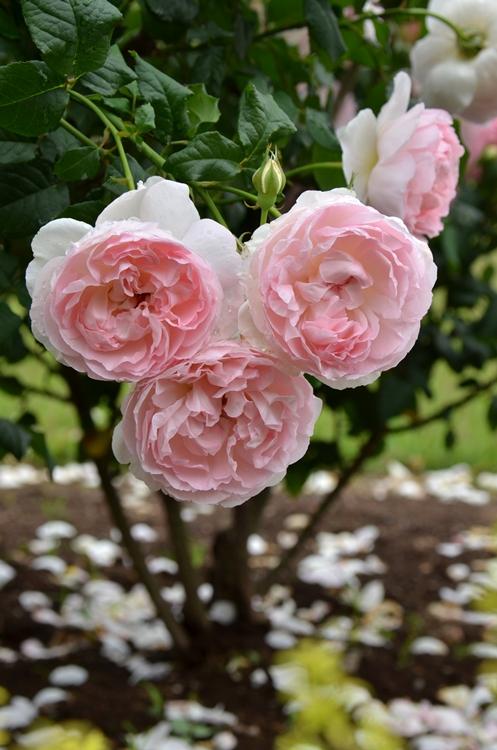 20150516 rose6