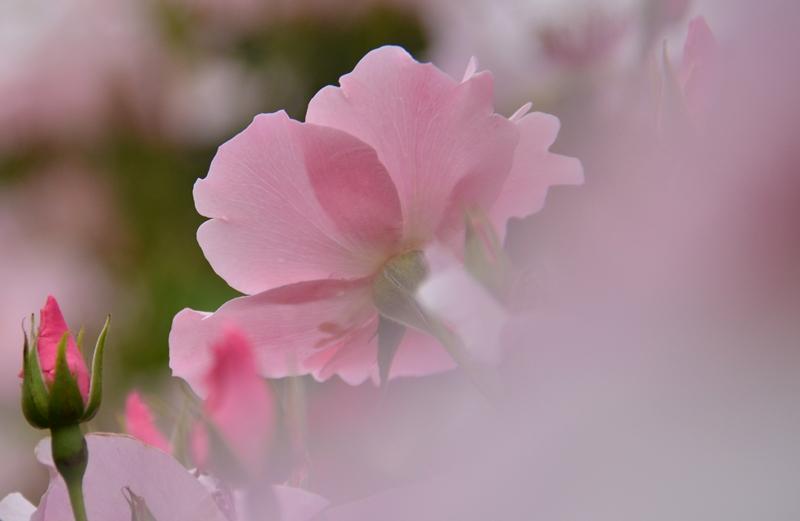 20150516 rose8