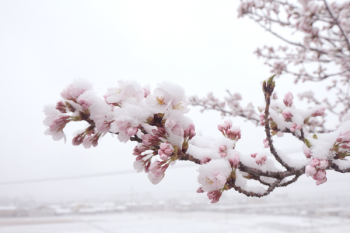0407雪桜