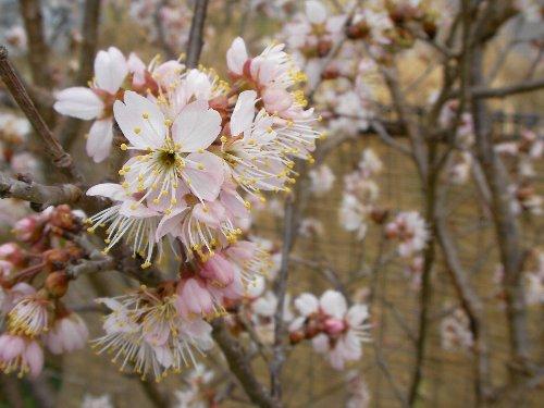 201503161418サクランボの花②